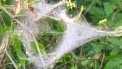 Kardinaalsmutssstippelmotrupsen opnieuw aan het 'spinnen' in diverse parken in Knokke-Heist