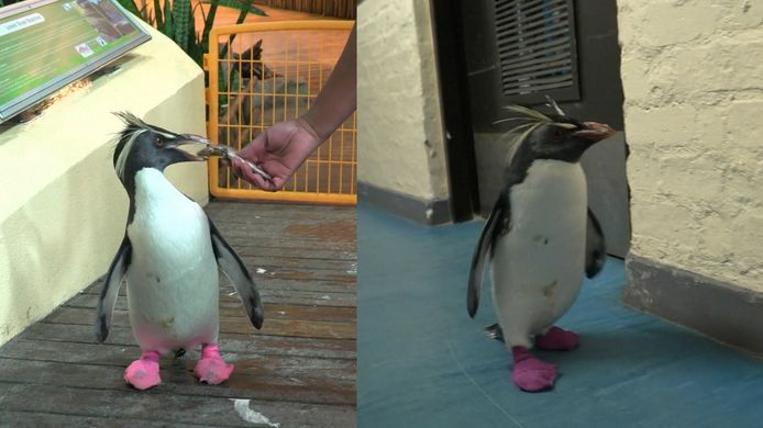 Deze pinguïns lopen rond op roze sokken