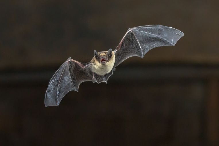 Pipistrelle bat (Pipistrellus pipistrellus) flying on wooden ceiling of house in darkness Beeld Getty Images/iStockphoto