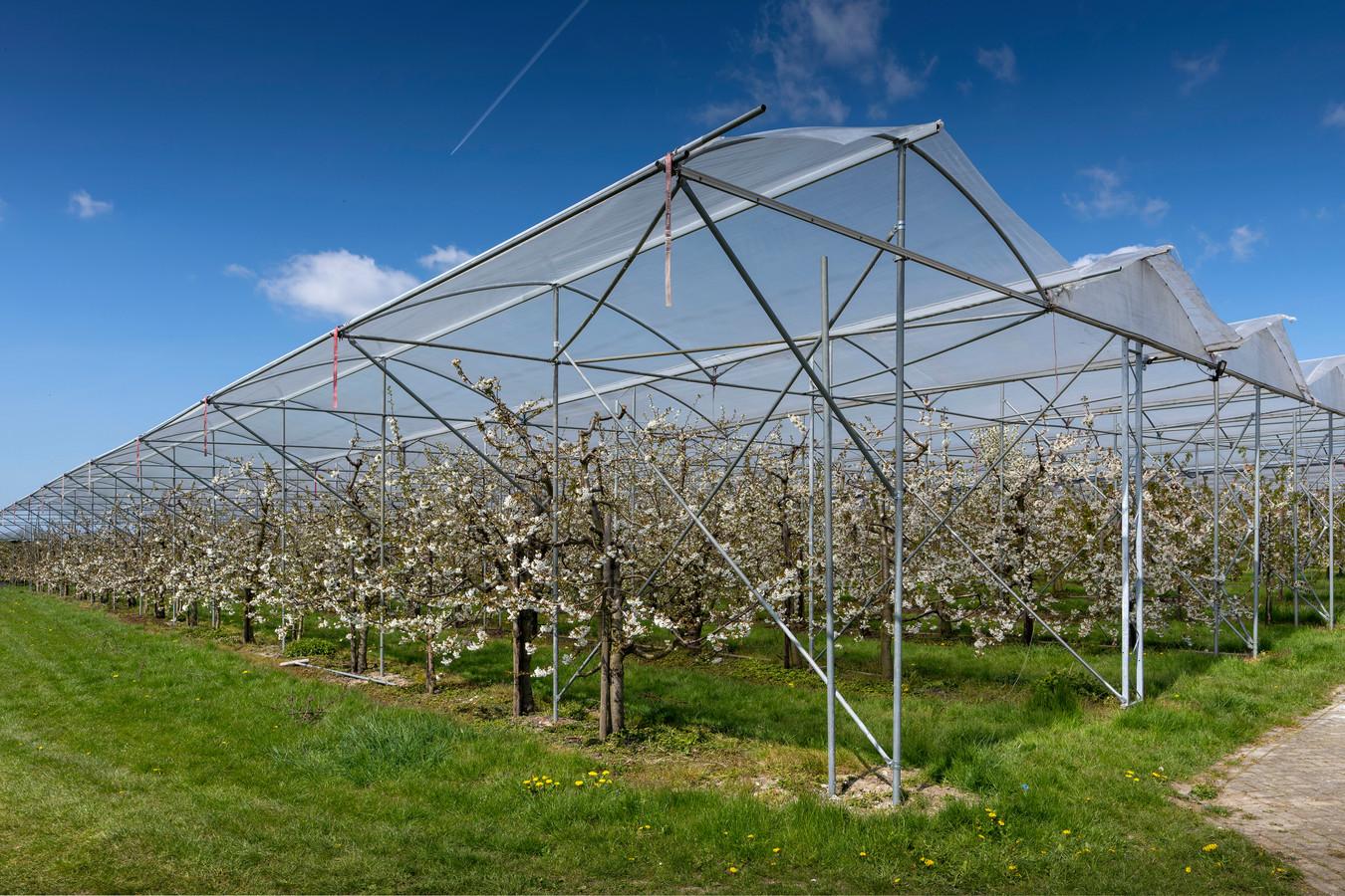 Overkapping van fruitbomen in Velddriel. Maasdriel vindt dat de plastic regenkappen het landschap versjteren.