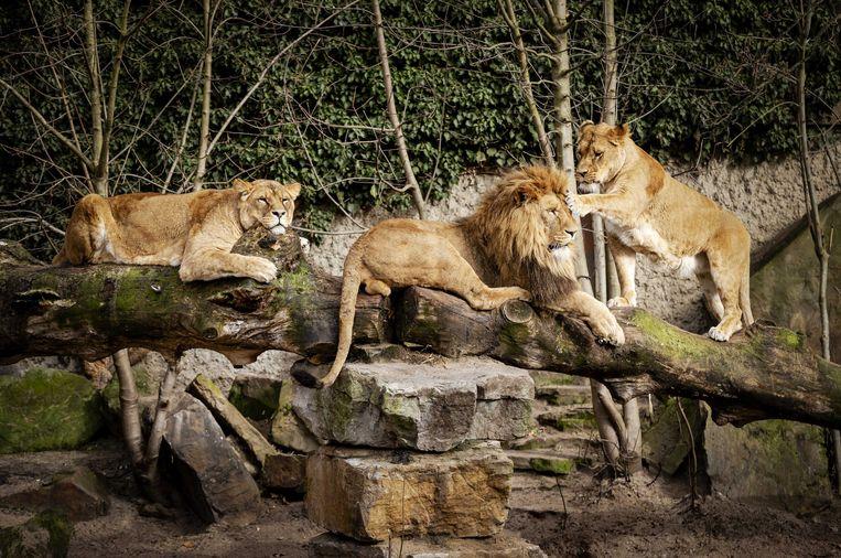 Er is geen geld voor een nieuw leeuwenverblijf in Artis.  Beeld EPA