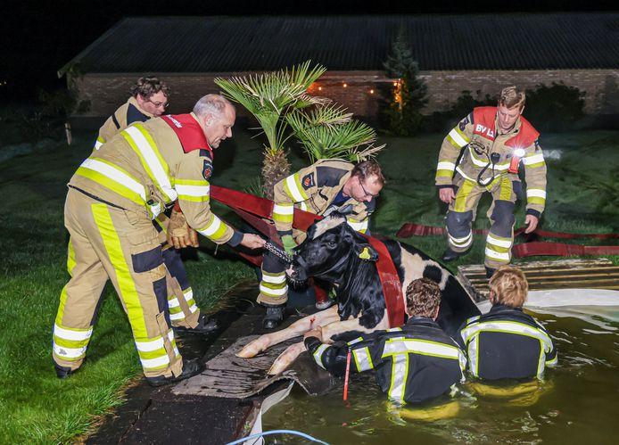 Begin deze week moest de brandweer van Nieuwleusen in het holst van de nacht komen opdraven om twee koeien uit een zwembad te redden.