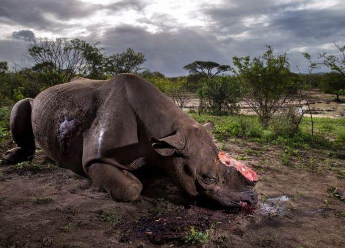 De Zuid-Afrikaanse fotograaf Brent Stirton mocht de prijs voor Wildlife Photograph of the Year in ontvangst nemen. Zijn foto werd gekozen uit 50.000 inzendingen. Op de afbeelding is een zwarte neushoorn te zien die is afgeslacht voor zijn hoorns.