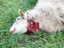 Vijf schapen gedood in Rosmalen, dertien dieren verwond