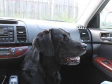 Labrador Max rijdt uur lang rondjes in auto van baasje
