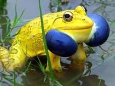 Une armée de grenouilles jaunes en Inde