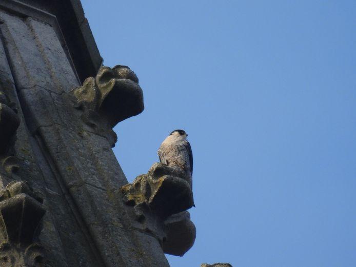 De Ieperse slechtvalken hebben vier kuikens in de toren van de kathedraal.