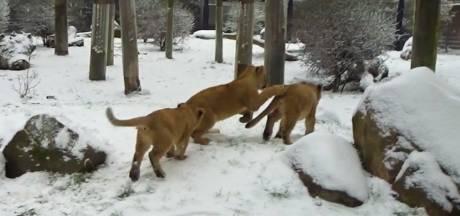 Sneeuwpret in Blijdorp: leeuwtjes rollebollen door hun verblijf