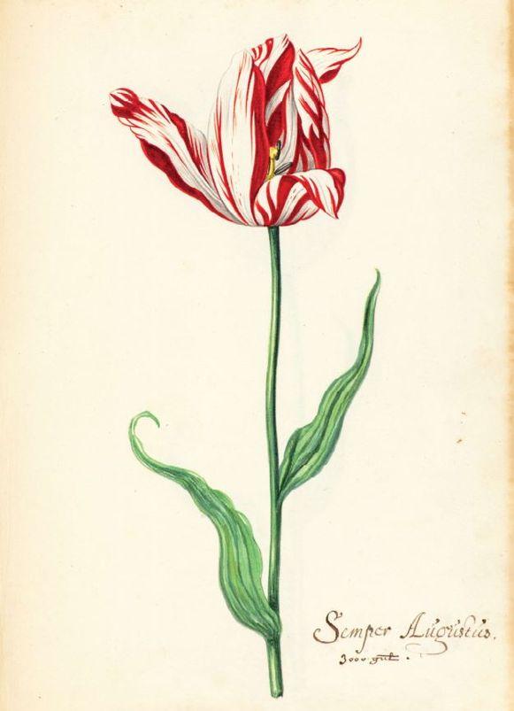 Een tulp uit het tulpenboek