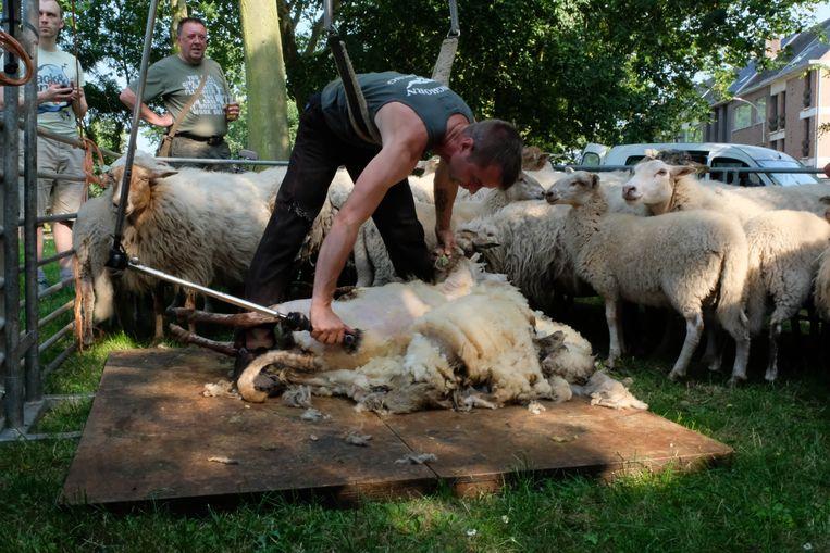 Met dit weer hebben de schapen hun wollen 'truitje' toch niet nodig.