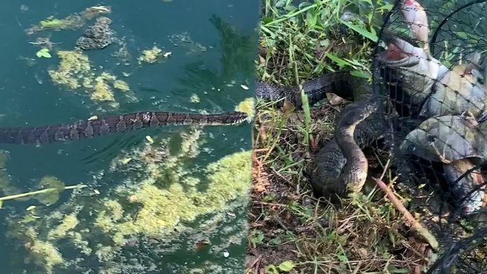 Wanneer een visser zijn vangst wil binnenhalen, waagt een slang zijn kans.