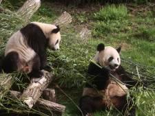 Les jumeaux pandas de Pairi Daiza fêtent leur deuxième anniversaire