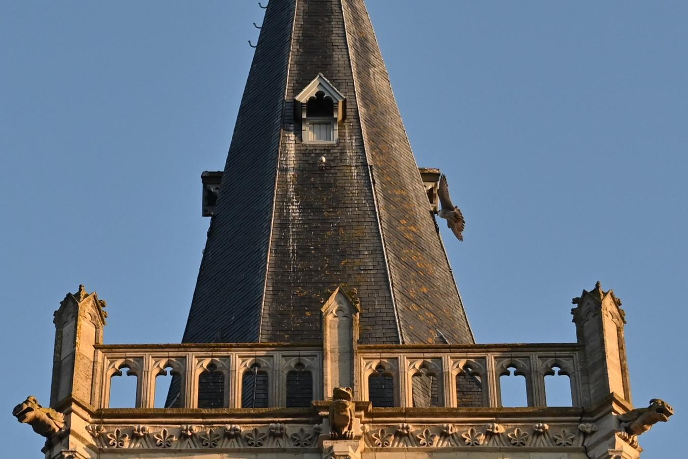Aandachtige kijkers kunnen de slechtvalken geregeld zien vertrekken en aankomen in de kerktoren van de Sint-Martinuskerk op het dorp van Lede.
