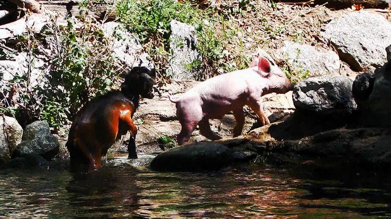 Het varkentje springt in het water om de geit te redden.  Beeld Youtube