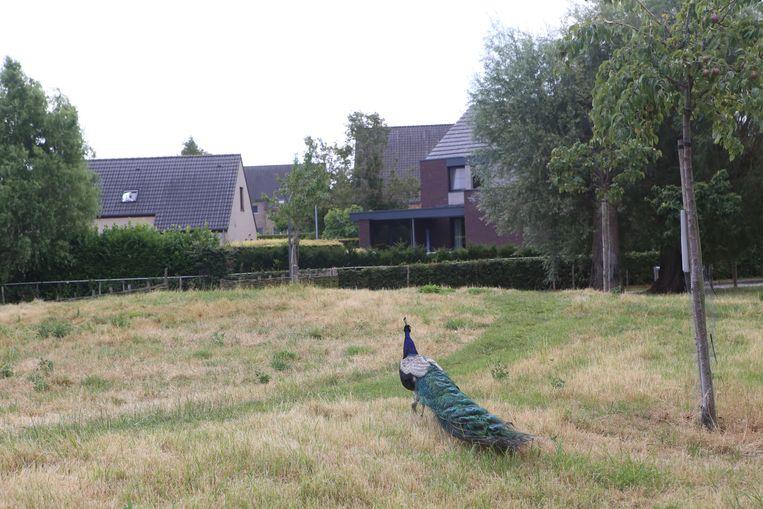 De pauw heeft al lang zijn thuisbasis in het Vianderdomein.