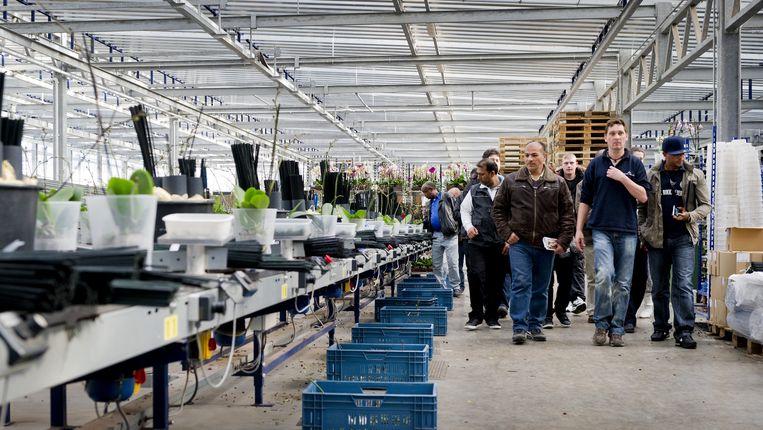 Werkzoekenden uit de omgeving Rotterdam hebben belangstelling voor een baan in de Westlandse kassen. Beeld ANP