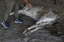 Après quatre heures de chirurgie, qui n'ont pas permis de sauver l'animal, les vétérinaires avaient extraits de son estomac des clous, du plastique, des billes, du marbre entre autres, en tout 71 kg de déchets, a raconté à l'AFP le président de People For Animals Trust.
