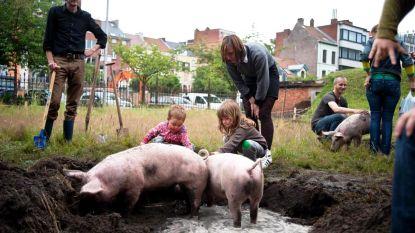 Varkens in de stad: haalbaar of niet? Ontdek het vanavond tijdens lezing in Pand 10