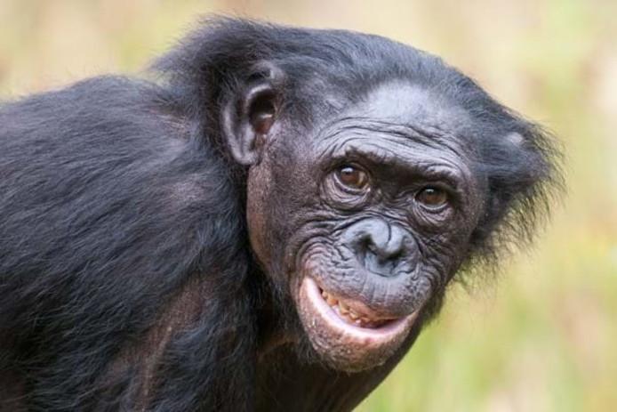 De Apenheul in Apeldoorn rouwt. De bekende Bonobo Zuani is op 29-jarige leeftijd overleden.