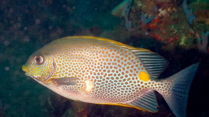 L'arrivée des poissons-lapins en Méditerranée inquiète les scientifiques