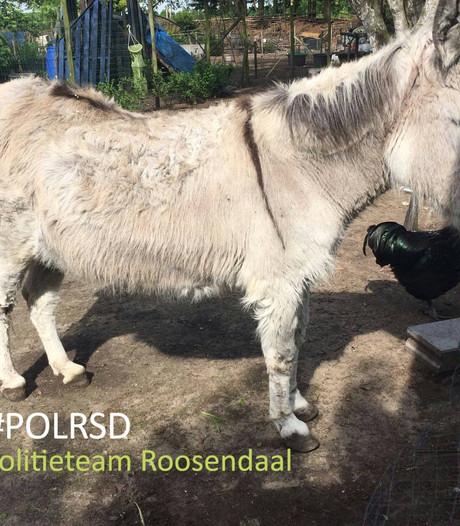 Verwaarloosde Nispense ezel krijgt nieuw thuis bij Ezelshoeve in Baarle-Nassau
