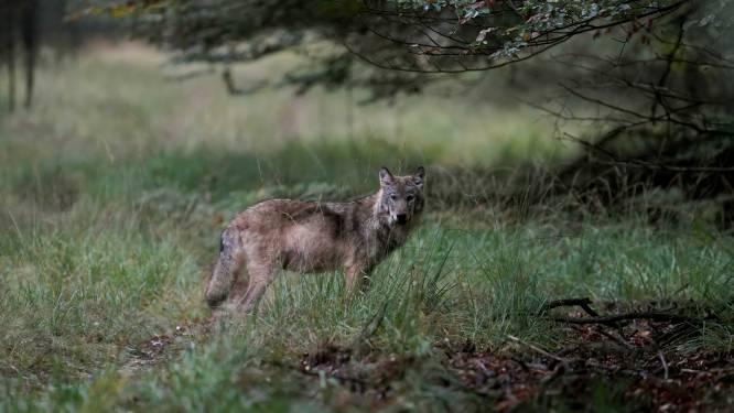 Nieuws gemist? Veluwse wolf blijkt doodgeschoten en Urker kotter cruciaal bij oplossen mysterieuze verdwijning. Dit en meer in jouw overzicht