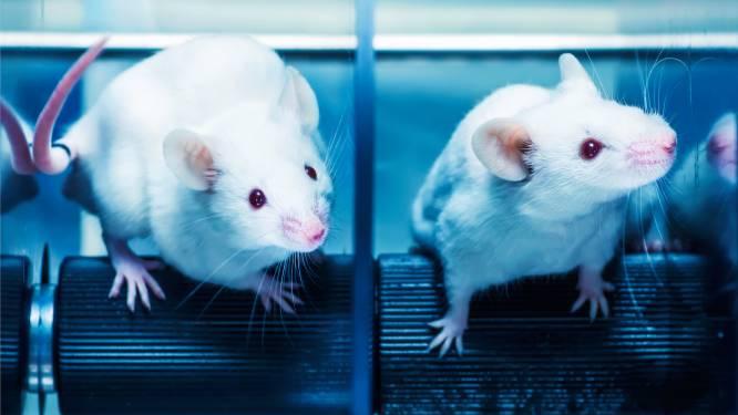 """Wetenschappers verlengen leven muizen met 23 procent: """"Misschien ook mogelijk voor mensen"""""""