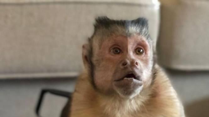 Miljoenen TikTok-fans treuren om plotselinge dood van populair aapje George