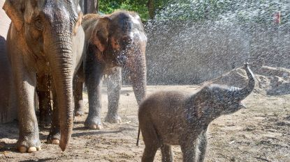 Dierenparken bieden verfrissing voor dieren tijdens warme zomerweer: douches, schuilhutten en ijslolly's