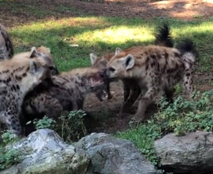 De vrouwtjes-hyena's bijten zich vast op het mannetje.