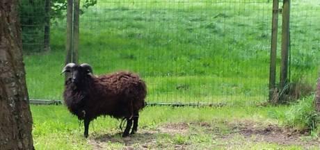 Melding gevonden voorwerp in Asten: een zwart schaap