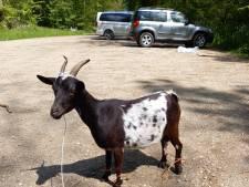 Gewonde geit gedumpt op parkeerplaats van bos, dier moet worden ingeslapen