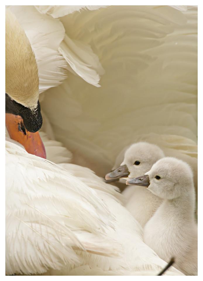 Babyzwaantjes zitten veilig tussen het dons bij mama. Lekker zacht zijn die veren.