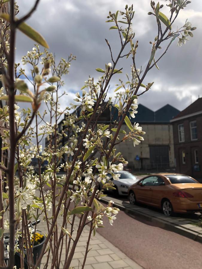 Amelanchier lamarckii (krentenboompje) staat nu in bloei, later komen kleine krentjes waarvan de vogels graag snoepen.