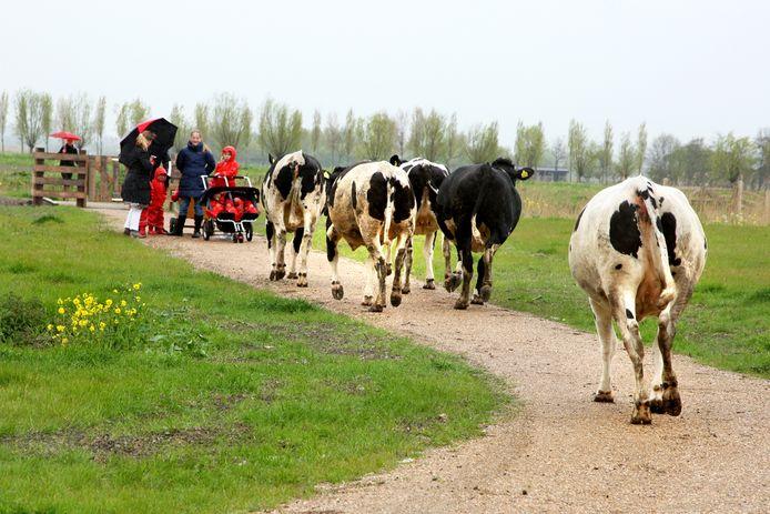 Het was even schikken voor dit gezinnetje dat een wandelingetje maakte en dan ineens 5 koeien op zich af ziet komen in het Abtswoudsepark.