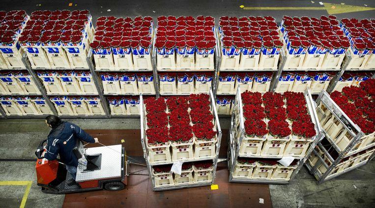 Een medewerker van de bloemenveiling in Aalsmeer verwerkt rode rozen die bestemd zijn voor de verkoop voor Valentijnsdag, 14 februari. Beeld ANP