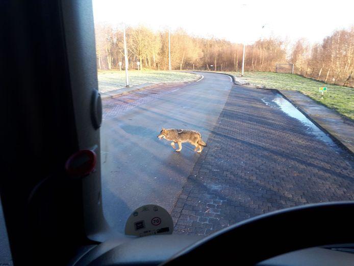 De wolf die op 13 februari gespot werd door vrachtwagenchauffeur Hans de Ruiter.
