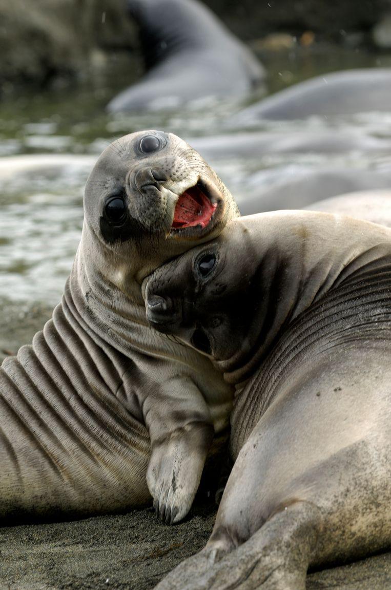 Spelende zeehonden van ongeveer vier weken oud.  Beeld Getty