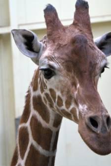 Dhakija maakt kwartet in ZooParc weer compleet