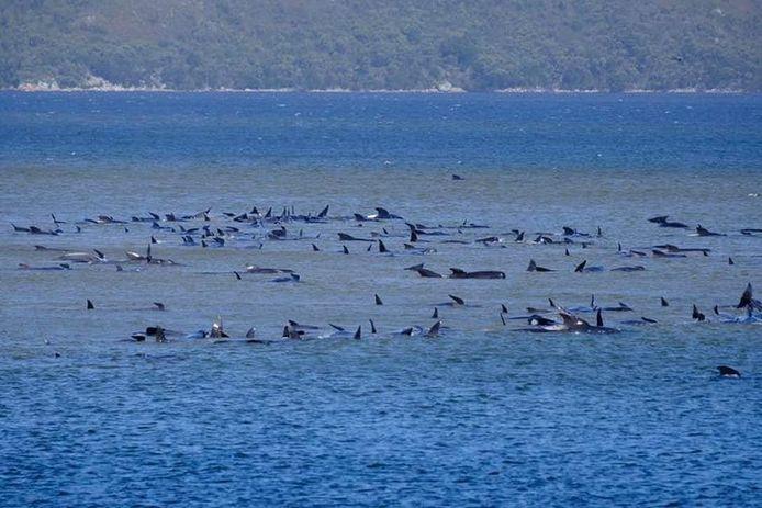 Les baleines échouées à Macquarie Heads, en Tasmanie.