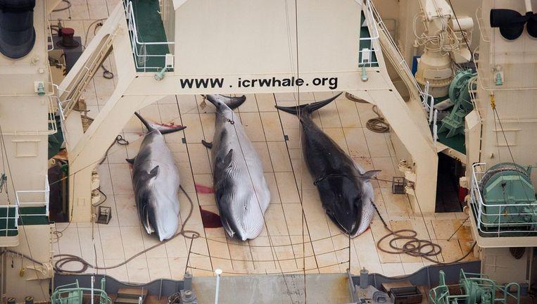 Dode dwergvinvissen aan boord van een Japans schip. Beeld epa