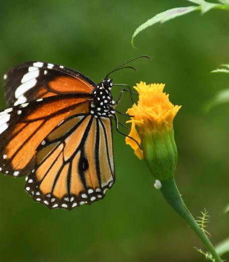 Een vernuftig staaltje natuur: de vlinder fascineert ons, maar heeft het moeilijk