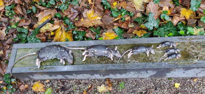 De dieren vallen in een container met conserveringsalcohol, waardoor ze pijnloos sterven.