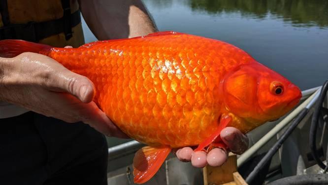 """Waarschuwing voor 'monsterlijke goudvissen' in Minnesota: """"Gevaarlijker dan je denkt"""""""