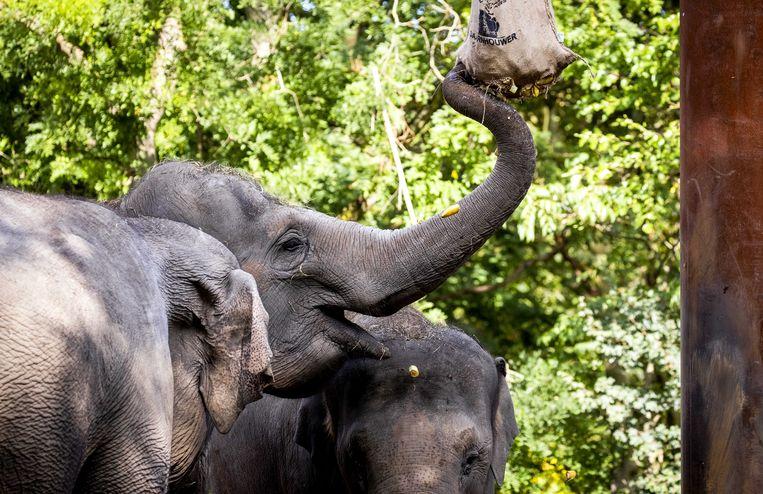 De olifanten van diergaarde Blijdorp zullen het evenals bewoners andere dierentuinen twee weken zonder bezoekers moeten doen.  Beeld ANP