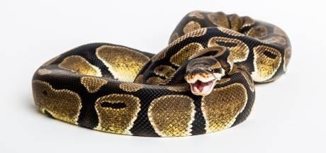 Felgele koningspython op de stoep: studenten schrikken zich rot