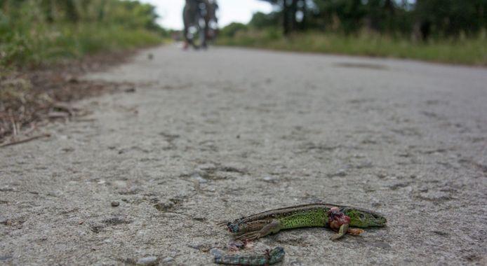 Een gesneuvelde zandhagedis op een fietspad.