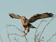 Als de ruigpootbuizerd zijn vleugels uitstrijkt staat hij bij voorbaat al met 3-0 voor