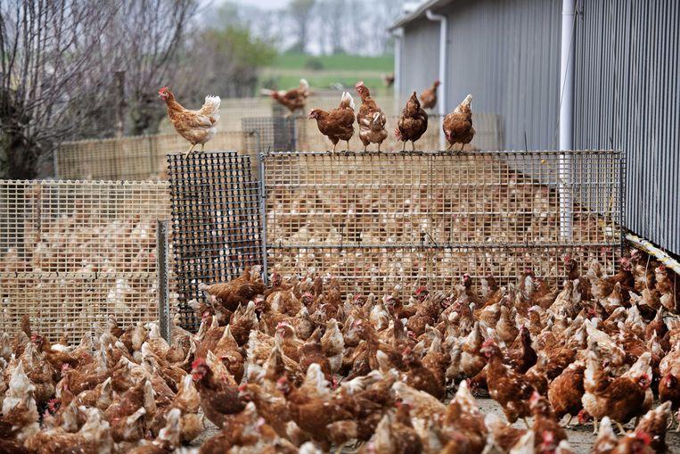 Tien kippen per seconde worden in België gedood voor consumptie. Beeld EPA