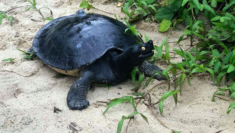 Een zuidelijke rivierschildpad of 'koninklijke schildpad', zoals hij heet in Cambodja. Beeld WCS